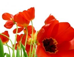 Фотопечать на рольшторах - Цветы_689